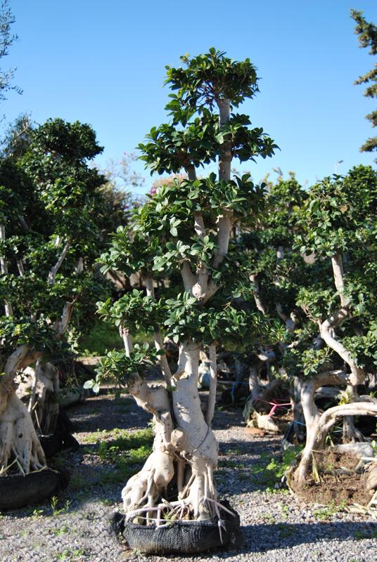 Bäume palmen bonsais